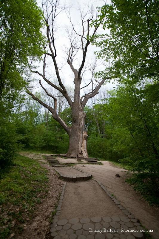 Дуб в селе Буда, Черкасская область. Фотограф в Киеве Дмитрий Бартош