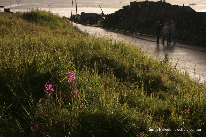 Иван-чай цветет. Магадан, Колыма. Фотограф Дмитрий Бартош